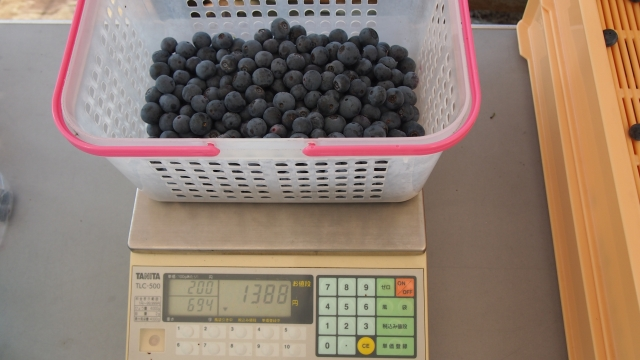 摘み取ったブルーベリーは青い果実・割れた果実などを取り除き、計量お渡しします。