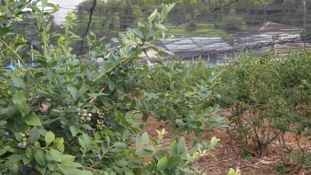 園内には1000本のブルーベリーが植えてあります。時期により収穫できる品種が違うのでいつ来ても楽しめるようにしています