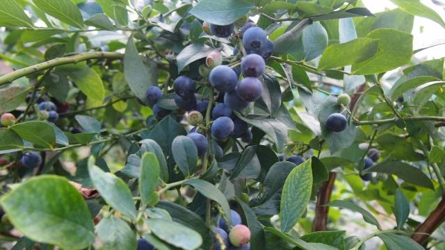 ブルーベリーが鈴なりです。あっという間に100g収穫できますね!