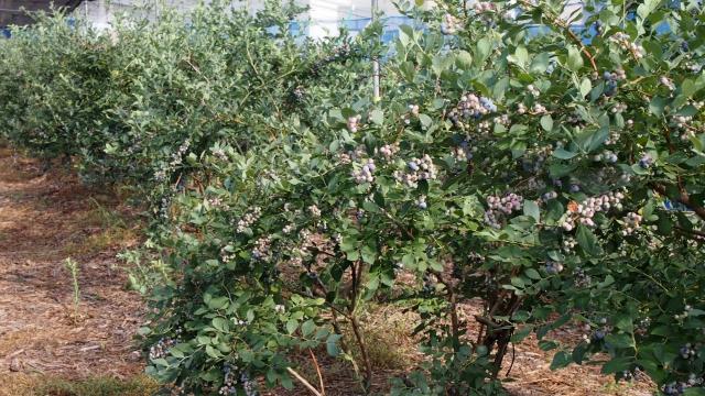 ラビットアイ系。収穫は8月から本番になります