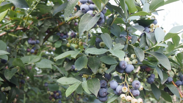 こんな風に緑色の未熟な果実と青色の完熟果実がある品種と…