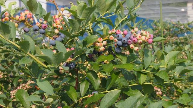 すこ~しずつ、果実の色が変わっていく品種もあります。白緑ピンク赤そして青紫。とてもきれいですね!